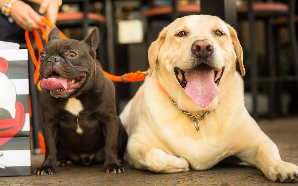 Pets on Third French bulldog and yellow lab