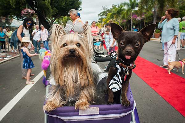 Two Small Dogs in Third Street South Pet Parade