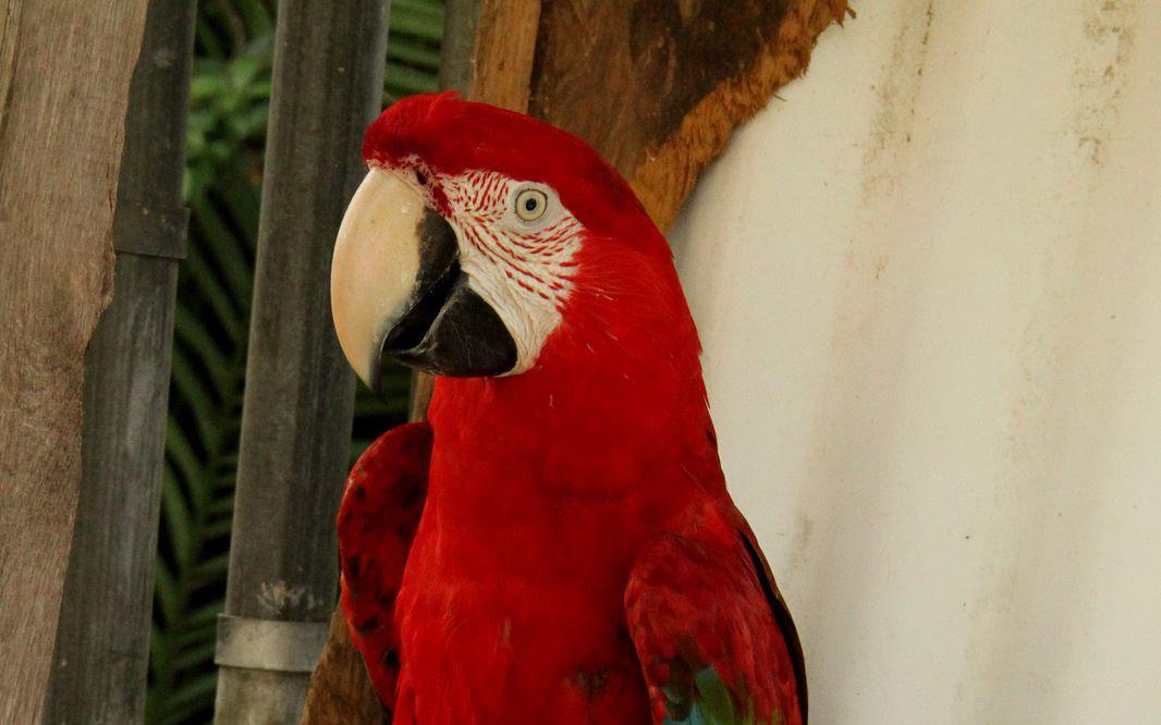 Kowiachobee - Ruby parrot